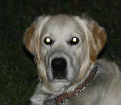 cómo ven los perros - ojos en la oscuridad