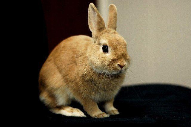 razas de conejos - enano holandés