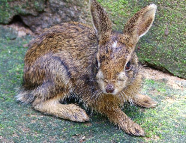 ¿Son roedores los conejos?