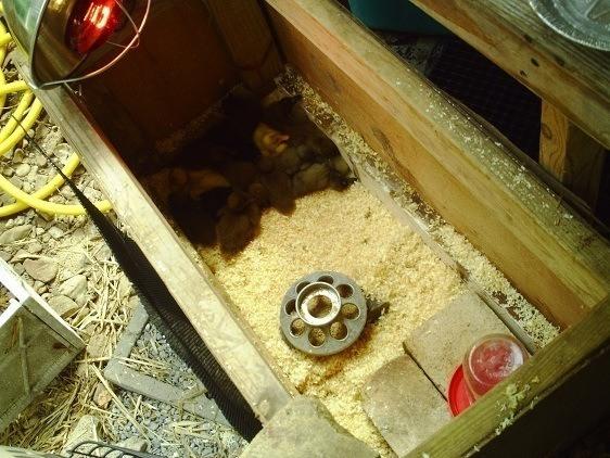 criando a un pato mascota - caja de madera con lámpara de calor