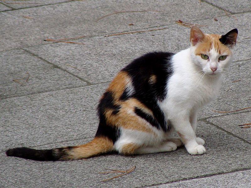 gato tricolor calicó